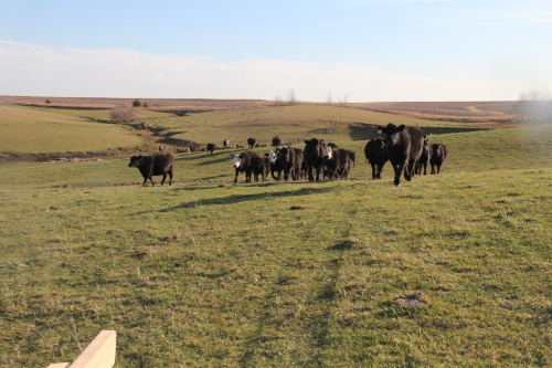cows in pastures