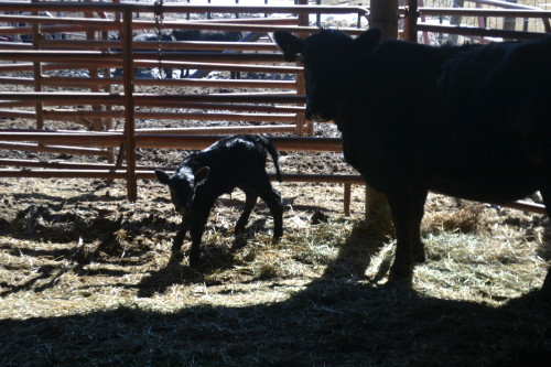 A new calf is born! 2