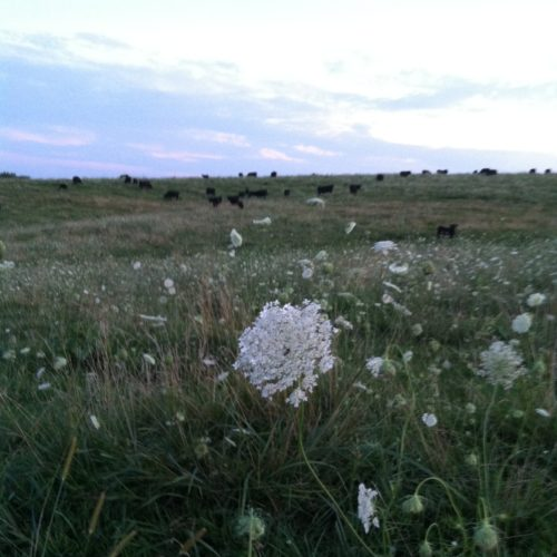 "A pasture of ""Queen Anne's Lace"""
